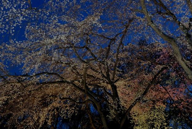 写真: 夜が桜色に染まる