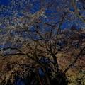 Photos: 夜が桜色に染まる