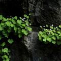 写真: 岩場に咲く花