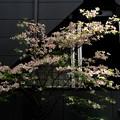写真: ハナミズキの咲く窓