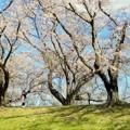 Photos: 桜・一人舞台