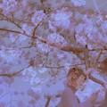 Photos: 桜色の恋