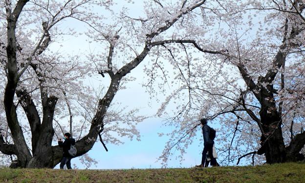 桜は咲くよ