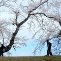 Photos: 桜は咲くよ