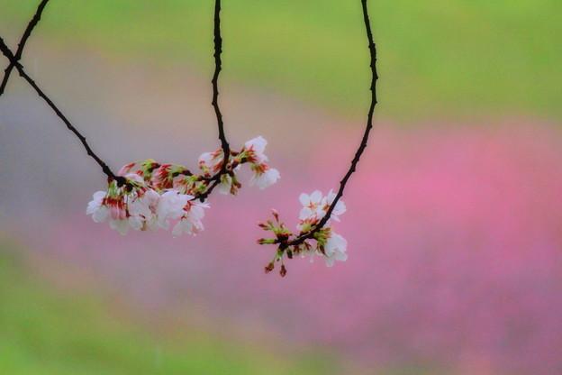 Photos: 桜子たちのヒソヒソ話