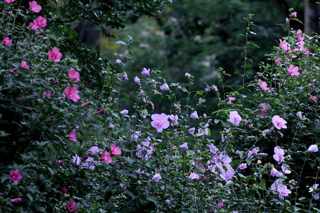 真夏の花園