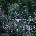 Photos: 真夏の花園