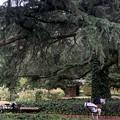 Photos: 大きな樹の下で~