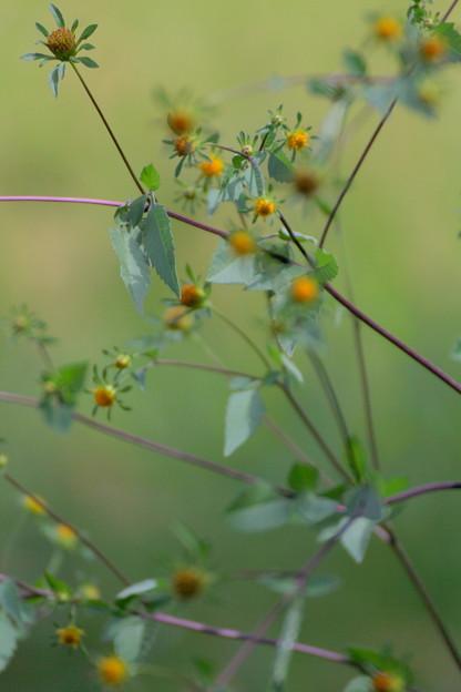 ひっつきむしの花