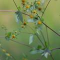 Photos: ひっつきむしの花