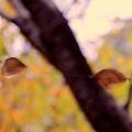 Photos: 枯葉の綱渡り