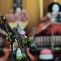 桜のつぼみとおひな様