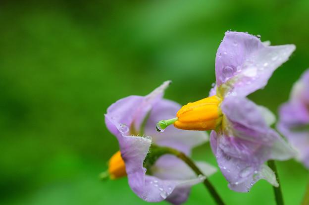 Photos: 窓下菜園のジャガイモの花