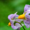窓下菜園のジャガイモの花