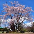 万葉の森公園 しだれ桜