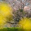 Photos: 氷上の一本桜・4