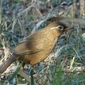 Photos: 画眉鳥
