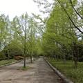 メタセコイア並木3