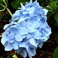蝦夷紫陽花2