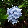 蝦夷紫陽花1