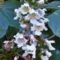 写真: コバノキササゲ花2
