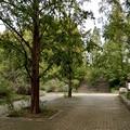 メタセコイア並木6