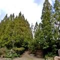 メタセコイア並木11