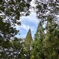 メタセコイア並木8