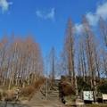 メタセコイア並木12