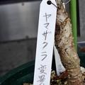 Photos: ヤマザクラ変異