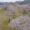 桜の錦帯橋。曇り・・・(12)