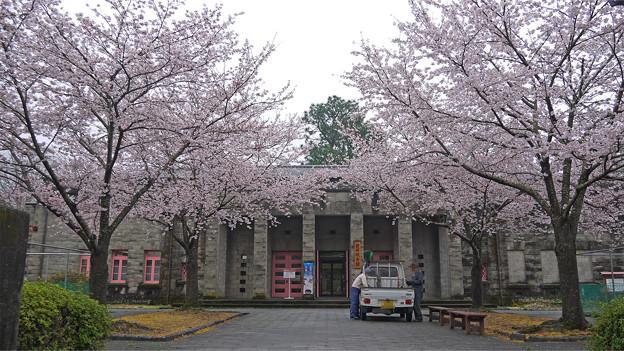 錦帯橋・微古館の桜
