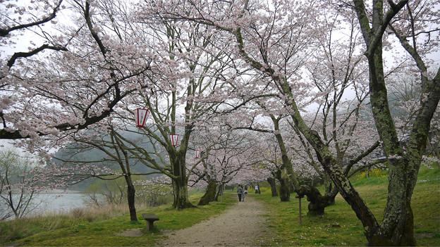 桜の錦帯橋。曇り・・・(18)