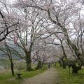 Photos: 桜の錦帯橋。曇り・・・(18)