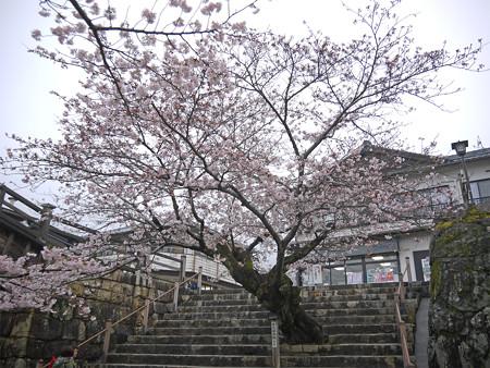 桜の錦帯橋。曇り・・・(15)