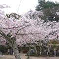 宮島・光明院前の桜