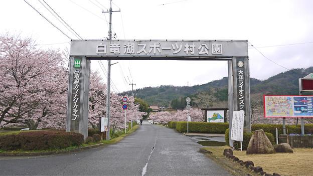 白竜湖スポーツ村公園の桜(1)