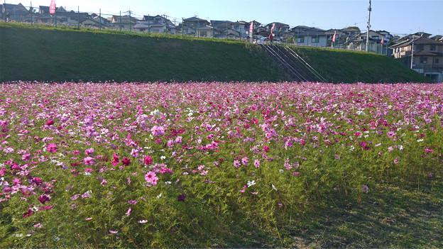 望山荘コスモス畑@2014(8)-2