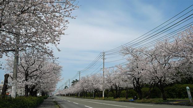 健軍自衛隊通りの桜(13)