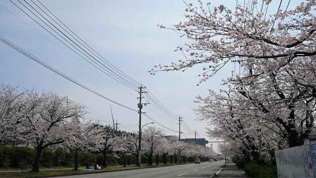 健軍自衛隊通りの桜(12)