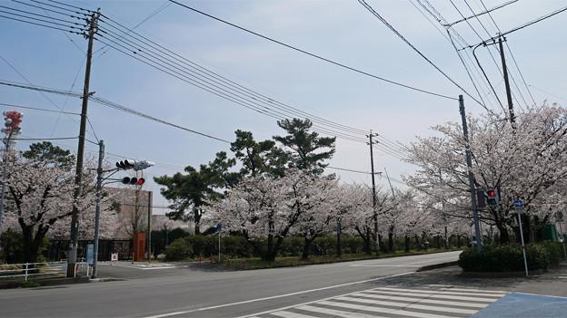 健軍自衛隊通りの桜(11)