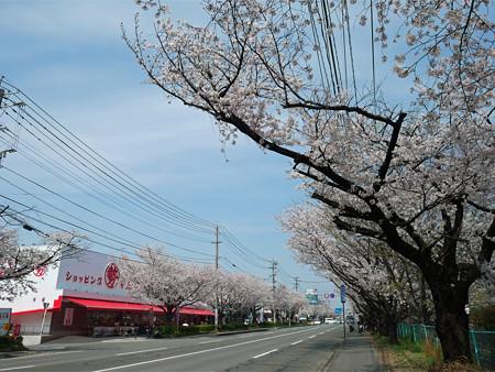 健軍自衛隊通りの桜(8)