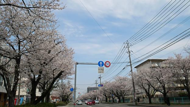 健軍自衛隊通りの桜(1)
