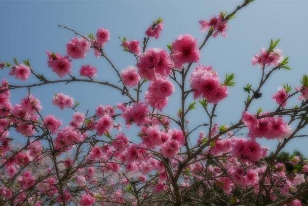 光蔵寺(8)花をふんわり撮るというモードを試した結果