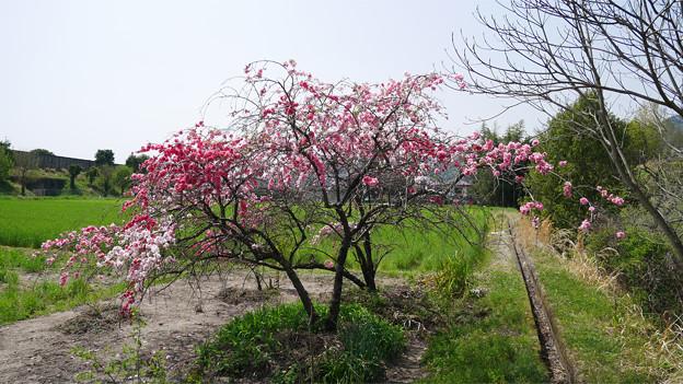 写真: 光蔵寺(3)近くの田んぼの中の桃