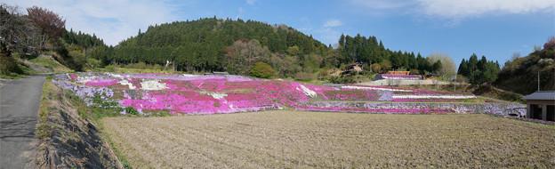 大道理芝桜まつり (16) パノラマ