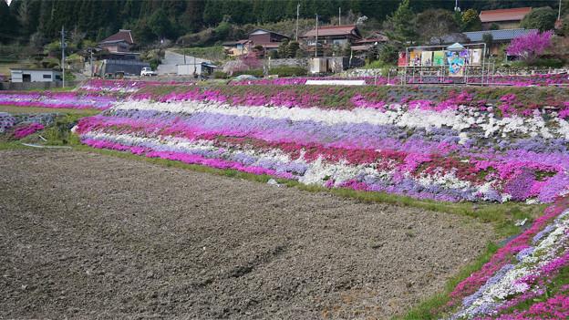 大道理芝桜まつり (10)