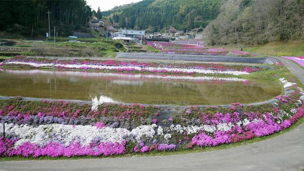 大道理芝桜まつり (5)