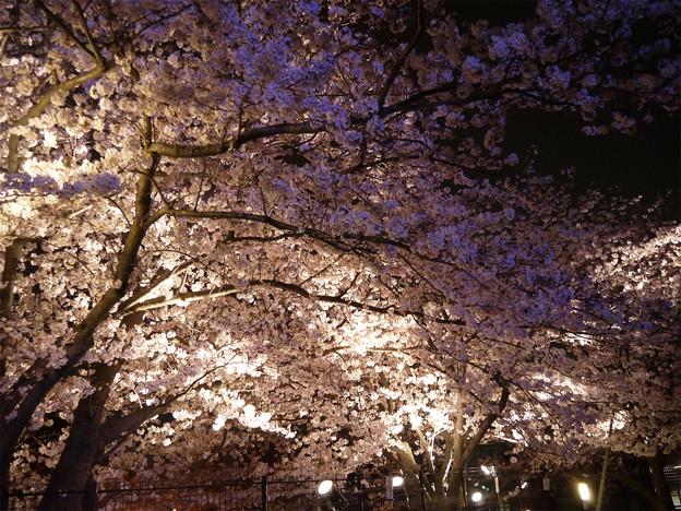 Photos: サンレイクかすやの夜桜 (2)