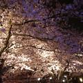 サンレイクかすやの夜桜 (2)